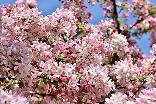 Ornamental Apple Tree, Flowers, Embellishment