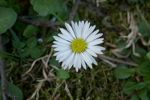 Daisy, Flower, Spring, Bloom, White, Nature, Daisies