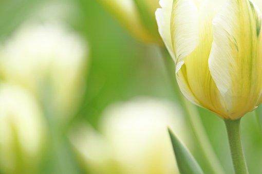 White Tumor, Tulip, Spring, White, Flower, Blossom
