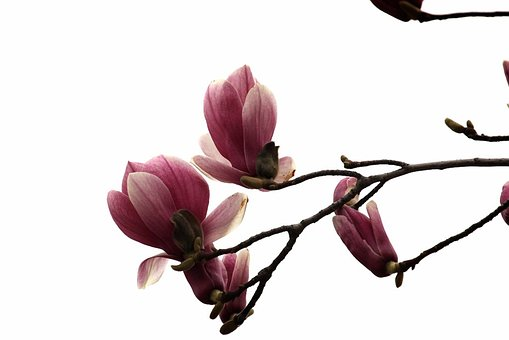 Magnolia, Flowers, Pink, Flowering, Wood, Nature