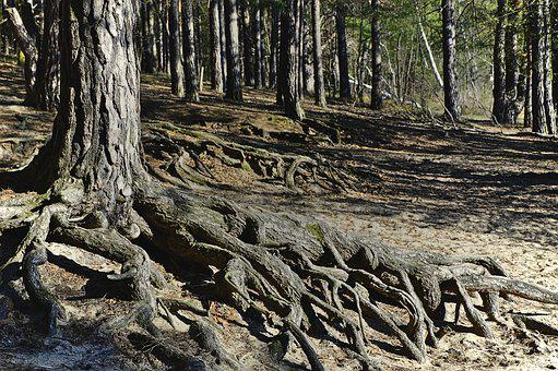 Root, Tree Roots, Forest, Forest Floor, Pine Forest
