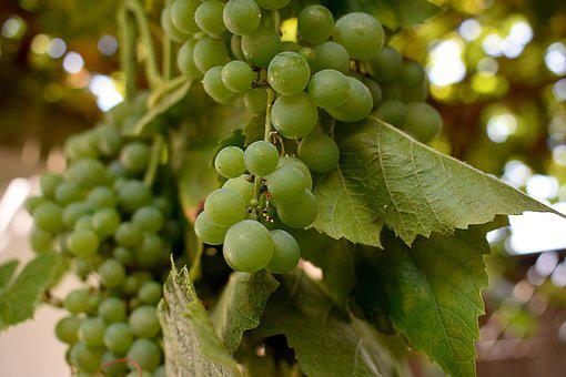 Grapes, Grape, Vine, Fruit, Wine, Healthy, Green