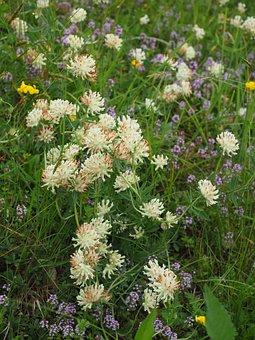 Wiesenklee, Klee, Trifolium Pratense, White Clover