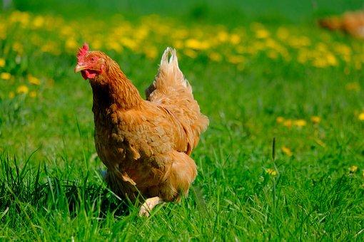 Chicken, Freiland Chicken, Animal, Poultry, Livestock