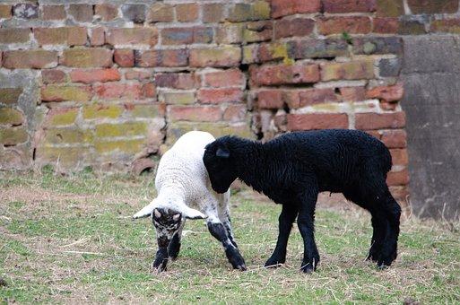 Sheep, Lamb, Baby, Farm, Livestock, Animal, Grass, Wool