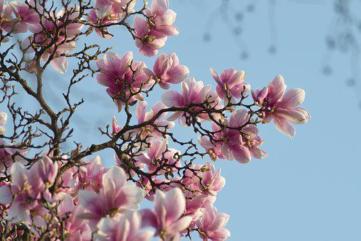 Magnolia, Flower, Spring, Branches, Pink