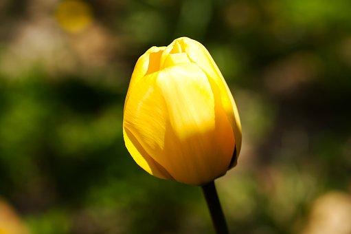 Bleed, Tulip, Flowers, Spring, Garden, Nature, Yellow