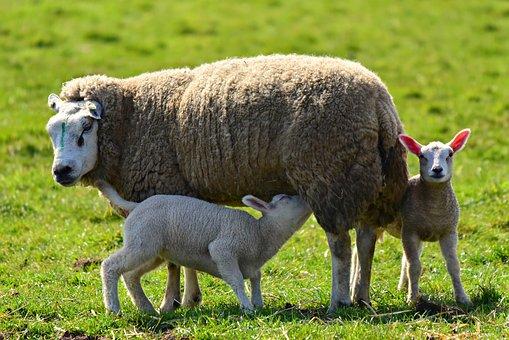 Sheep, Ewe, Lamb, Animal, Wool, Offspring, Young