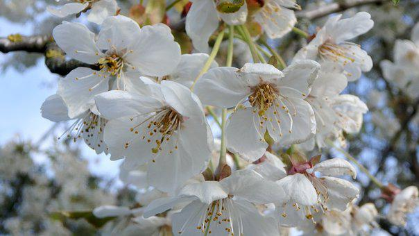 Blossom, Bloom, Spring, Tree Blooms, Bud, Orchard
