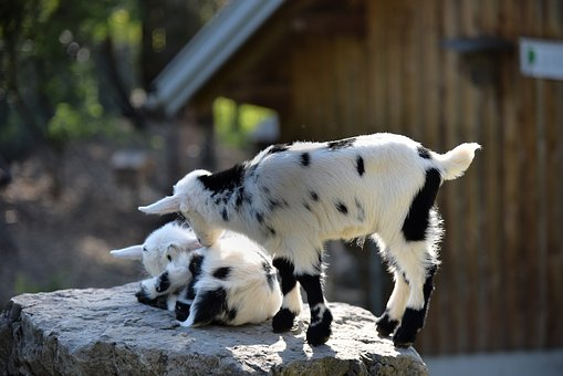 Kitz, Kid, Two, Goats, Spotted Play, Paarhufer, Rock