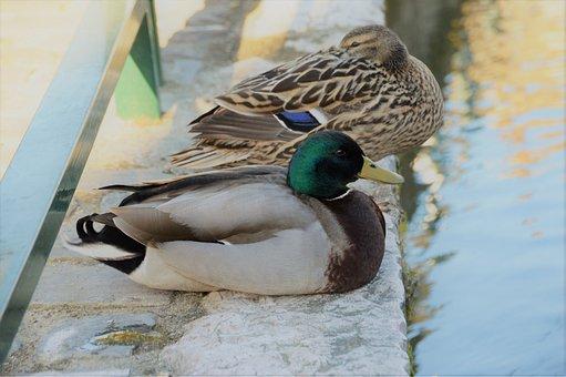 Duck, Plumage, Bird, Pen, Mallard, Beak, Wing, Wild
