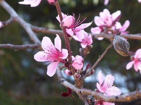 Peach Blossom, Blossom, Bloom, Pink, Peach, Branch
