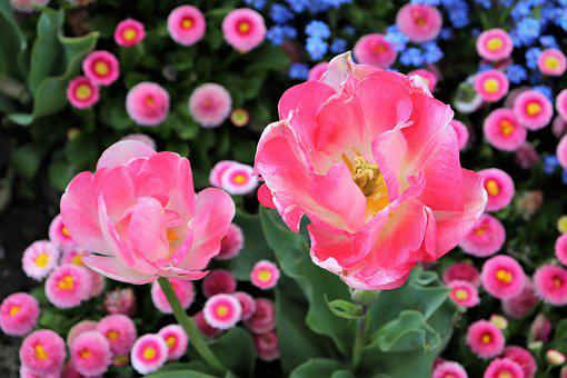 Pink Tulips, Pink Daisy, Bellis Perennis, Blue Aubrieta
