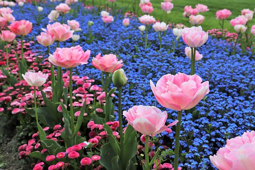 Spring, Pink Tulips, Blue Aubrieta, Blossom, Blooming