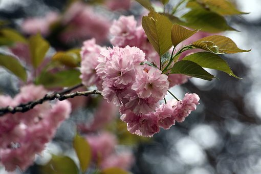 Fold Cherry Tree, Cherry Tree, Fold Cherry, Plants