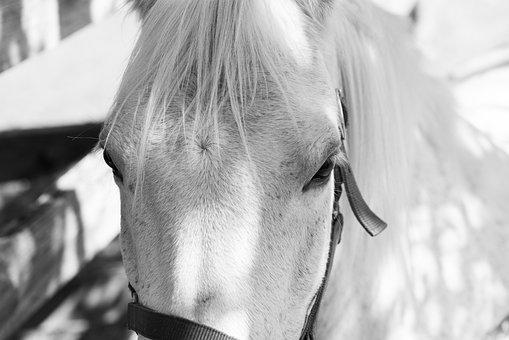 Pony, Horse, Equine, Animal, Mammal, Head, Eyes