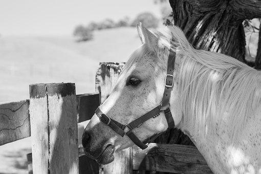 Pony, Horse, Equine, Animal, Mammal, Farm, Grey, White