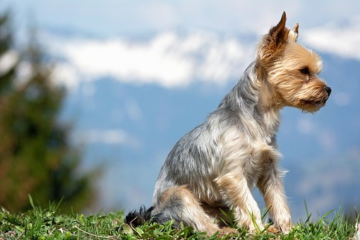 Dog, Yorkshire Terrier, Sitting, Seat, Out, Nature