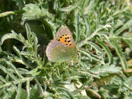 Butterfly, Callophrys Rubi, Verdeta D Ull Blanc, Small