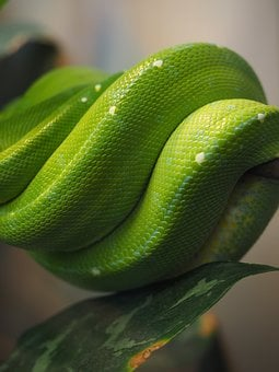 Python, Green, Snake Skin, Wound, Green Tree Python