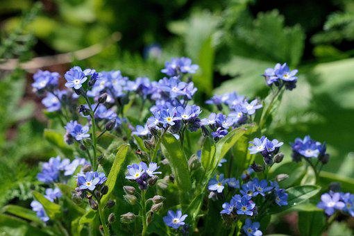 Forget Me Maybe, Garden, Spring, Nature, Flowers, Blue
