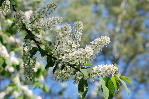Spring, Early Summer, Hägg, Flowering Trees