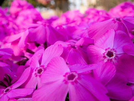 Flowers, Phlox, Spring, Garden, Plant, Pink, Natural