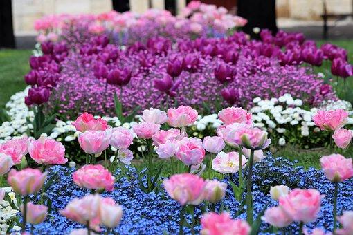 Spring, Pink Tulips, Blue Aubrieta, White Daisy