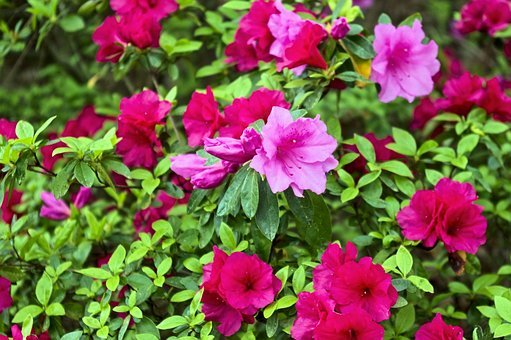 Red And Pink Azaleas, Blossoms, Azalea, Bloom, Spring