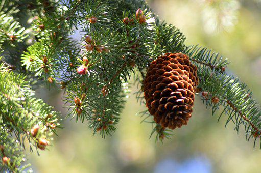 Cone, Tree, Pine, Spruce, Wood, Branch, Outdoors