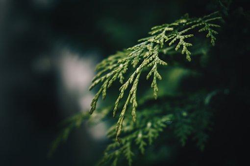 Fir Tree, Green, Nature, Branch, Conifer, Tannenzweig