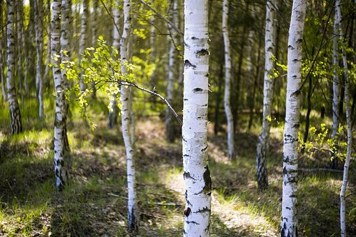 Birch, Fresh, Cheerful, Plants, Foliage, The Backlight