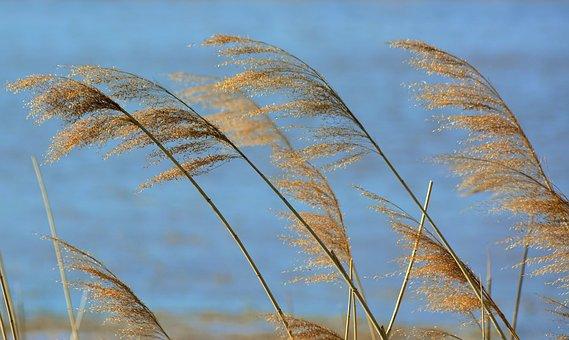 Lake, Reed, Water, Nature, Plant