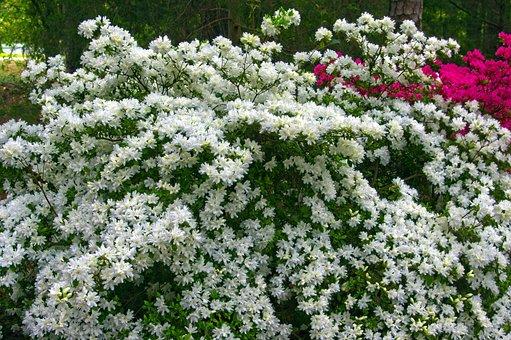 White Azaleas In Full Bloom, Blossoms, Azalea, Bloom