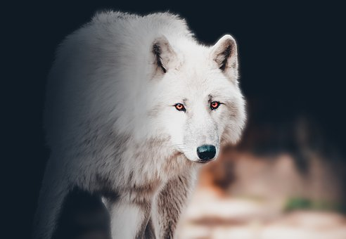 Wolf, Animal, Wild, Graphic, Design, Head, Eye, Dog