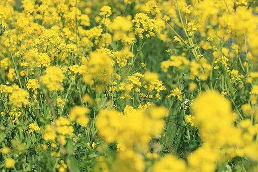 Rape Or Colza Seeds, Wild Flowers