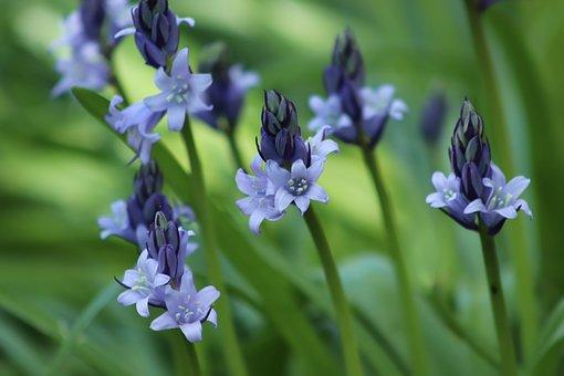 Bell Hyacinths, Hyacinth, Wildflowers, Blue, Flowers