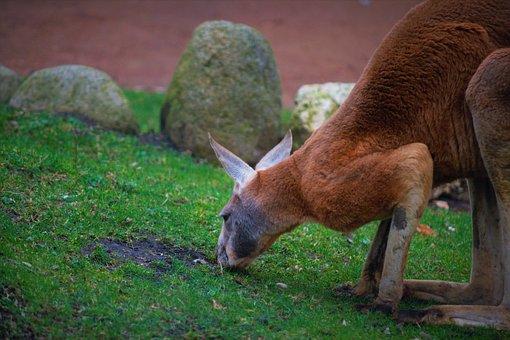 Känguru, Focus, Wildlife, Animel, Zoo, Dresden Zoo
