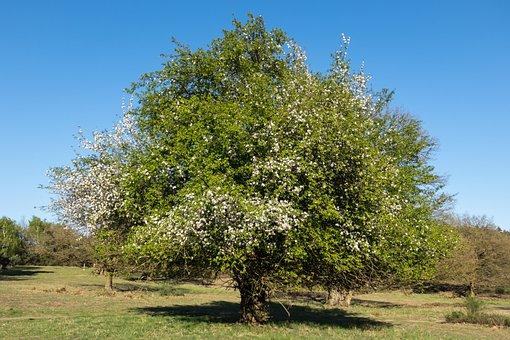 Fruit Tree Blossoming, Apple Blossom, Apple Tree