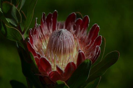 Flower, Waratah, Flora, Australia, Native, Plant, Bloom