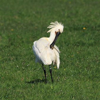 Bird, Spoonbill, Meadow, Pasture, Meadow Bird, Fauna