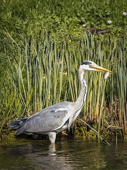 Grey Heron, Heron, Bird, Plumage, Nature, Animal World