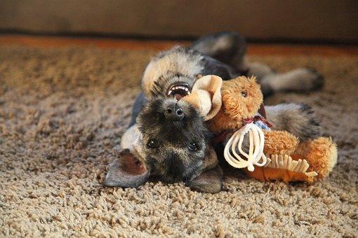 Schnauzer, Dog, Pet, Breed, Pedigree, Bearded, Animal