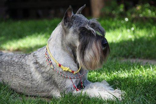 Schnauzer, Dog, Pet, Breed, Pedigree, Thoroughbred