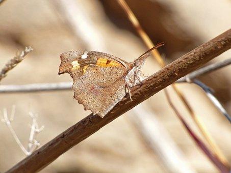Butterfly, Libythea Celtis, Butterfly, Hackberry