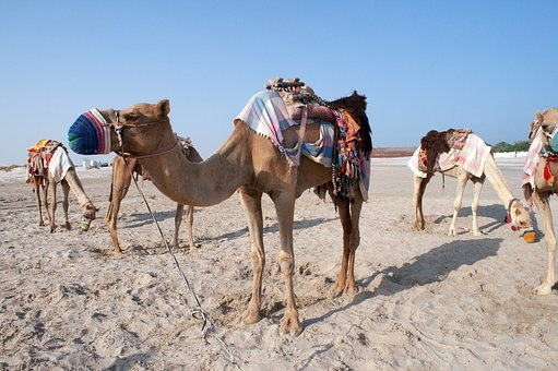 Camel, Qatar, Desert, Locomotion, Group, Animals