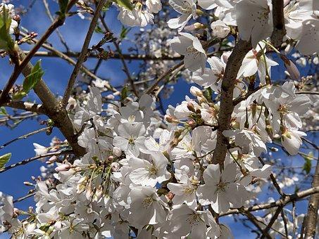 Cherry Tree, Cherry Blossoms, Spring, Blossom, Tree
