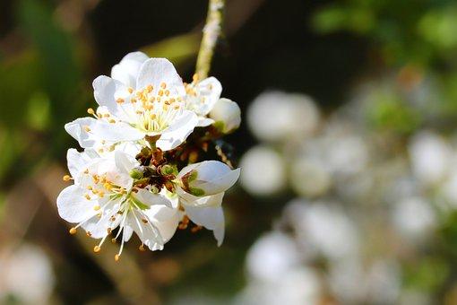 Cherry Blossom, Cherry Tree, Fruit Tree