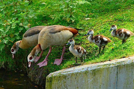 Nile Goose, Duck, Water Bird, Animal, Chick, Young