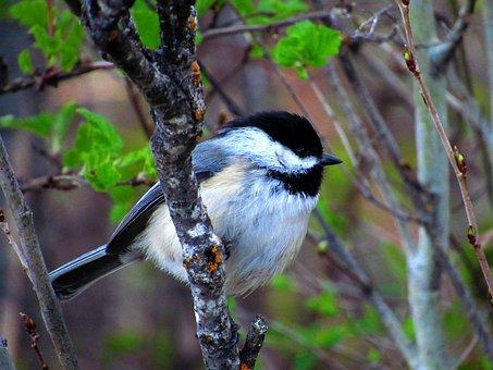 Chickadee, Bird, Nature, Wildlife, Tree, Songbird